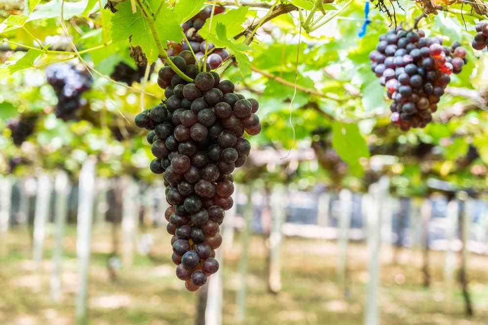 El vino, una fuente de negocio con gran exportación